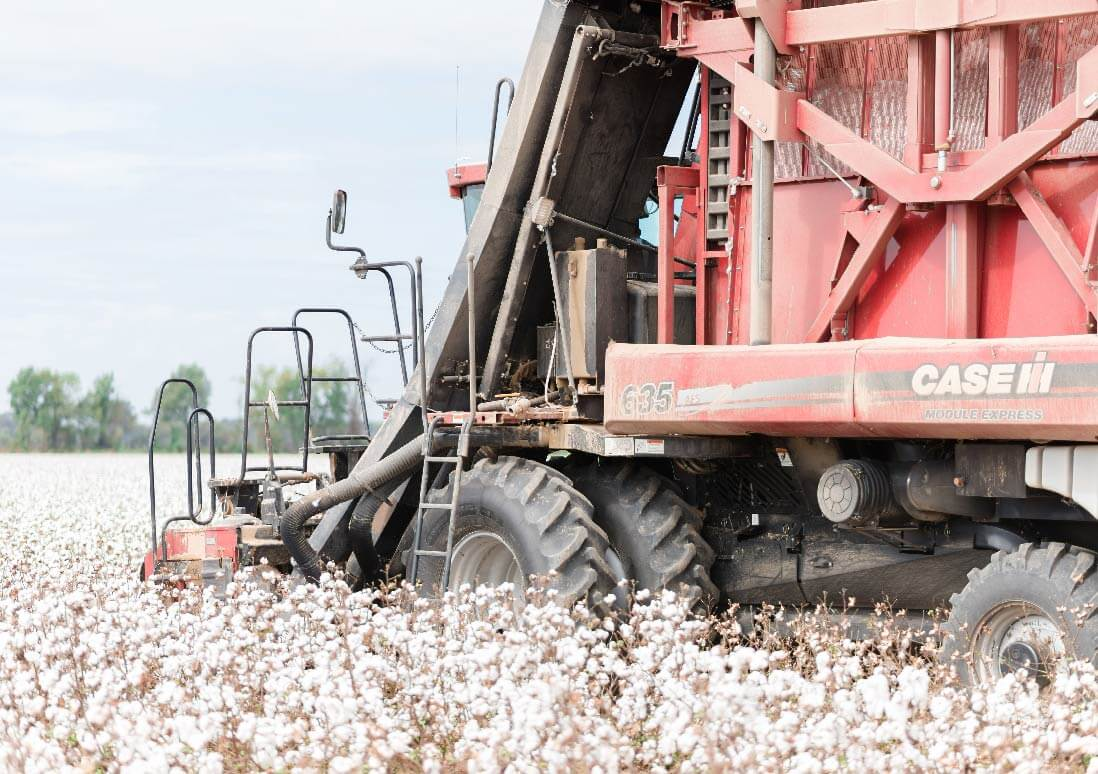 Close Cotton Harvest